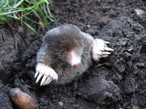 Morris The Mole